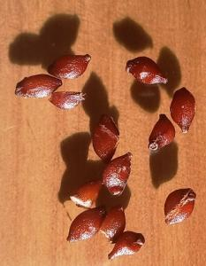 Семена 5.jpg