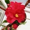 Камелия (Camellia) - последнее сообщение от Oliya