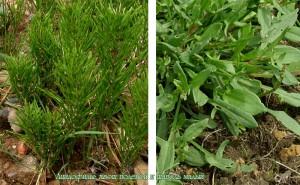 растения ацидофилы
