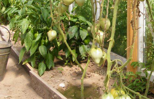 после чего сажать помидоры