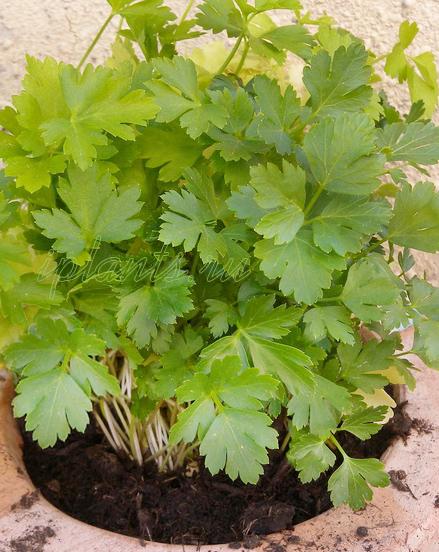 Петрушка на подоконнике выращивание из семян