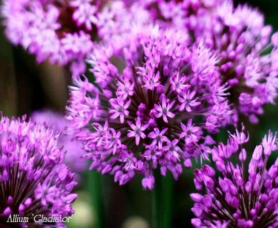 Цветы лук гладиатор