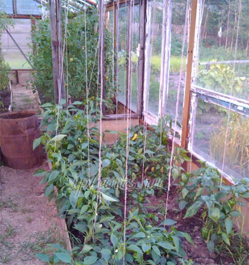 томаты и перцы