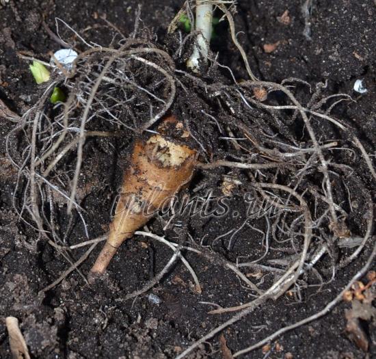 топінамбур вирощування