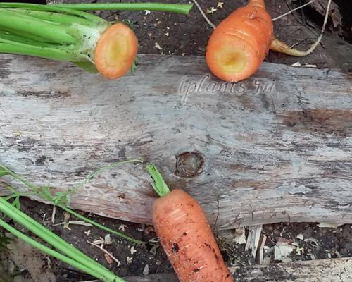 правильная обрезка ботвы у моркови