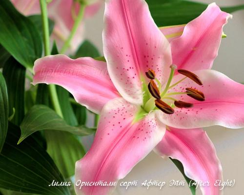 лилия прекрасная
