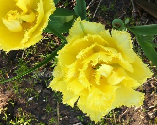 бахромчатые тюльпаны