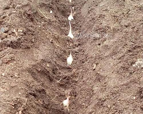 Посадка чеснока под зиму: оптимальные сроки, подготовка почвы, схема посадки, особенности