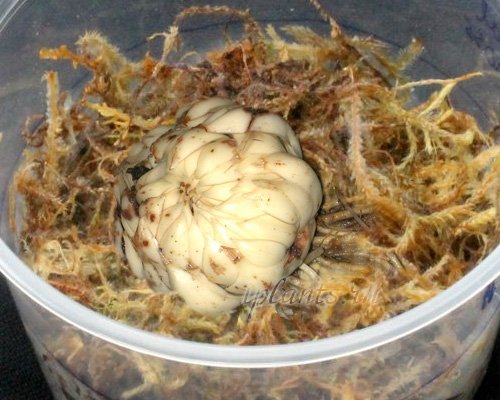 Как хранить лилии луковицы