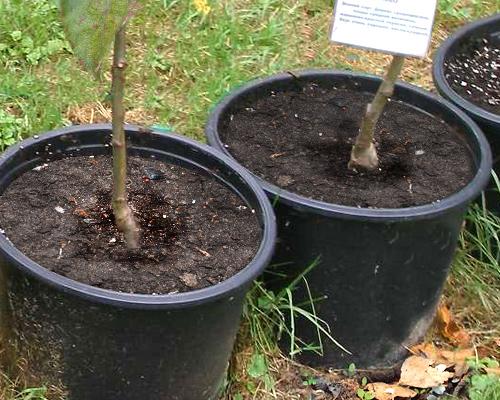 Выращивание саженцев с закрытой корневой системой 22