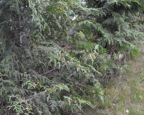 Туя западная - посадка и уход, описание сортов, выращивание, обрезка, размножение