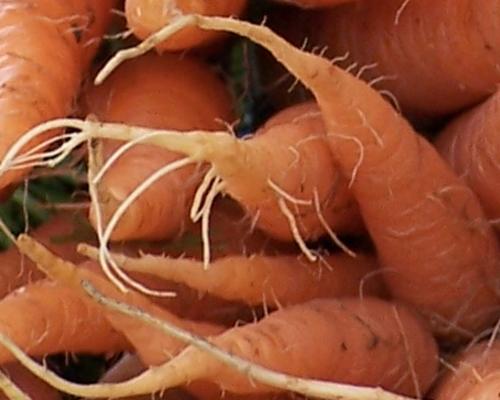 почему морковь волосистая