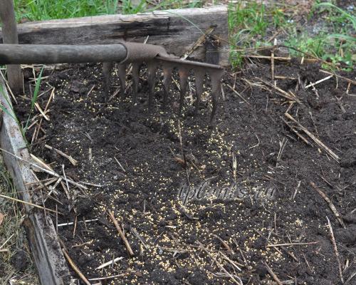 Горчица - хороший сидерат Почвы и удобрения 75