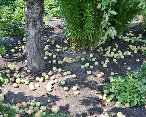 когда убирать урожай яблок