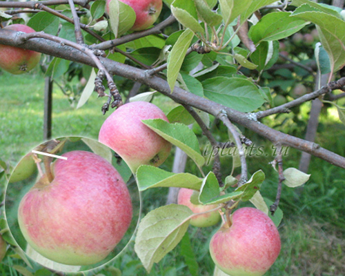 техника уборки яблок