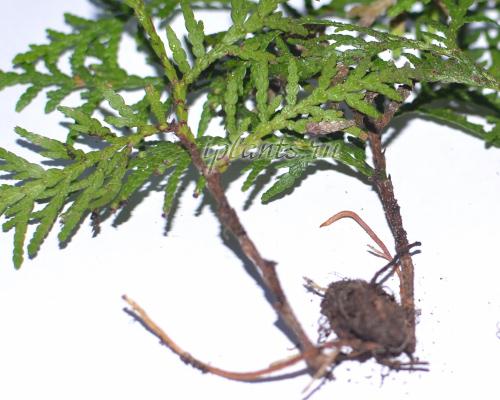 размножение западной туи