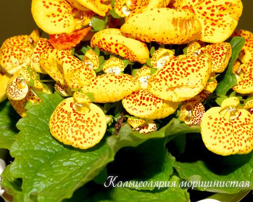 Кальцеолярия морщинистая Calceolaria integrifolia