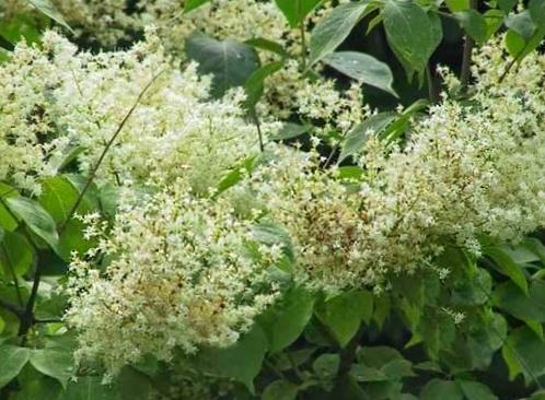 Сирень амурская Syringa amurensis