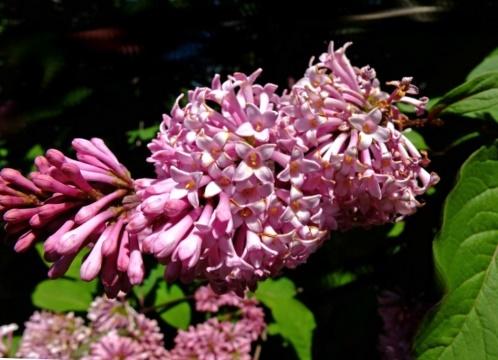 Сирень мохнатая Syringa villosa