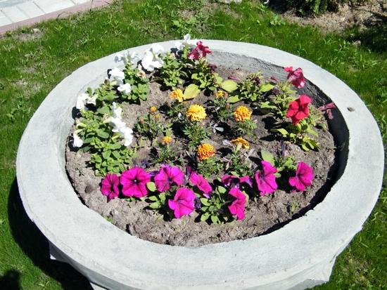 выращивание петуний в вазонах
