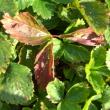 покраснение листьев клубники