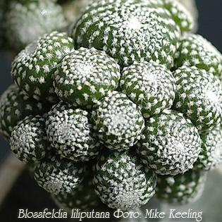 http://iplants.ru/images/Blossfeldia-liliputana.jpg