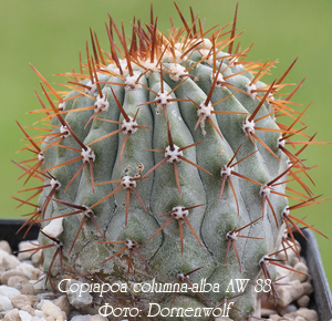 http://iplants.ru/images/Copiapoa.jpg
