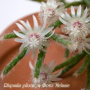 Фото комнатного цветка рипсалис 5