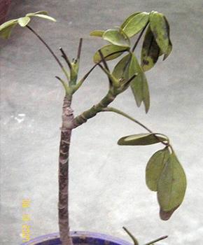 Шеффлер деревоподібна