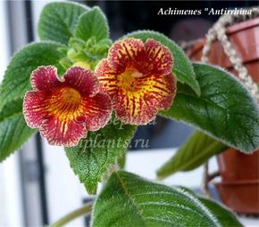 Цветы ахименесы