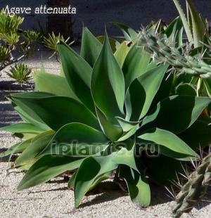 Агава Agave - виды, уход и проблемы выращивания