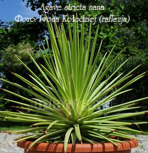 agave stricta nana