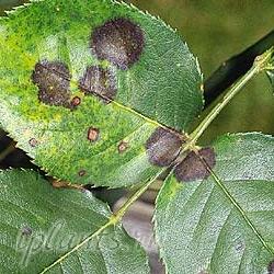 черная пятнистость листьев
