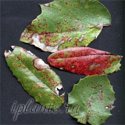 ржавчина листьев