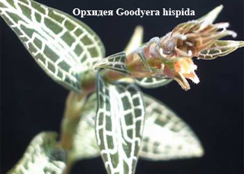 Орхидея Goodyera hispida
