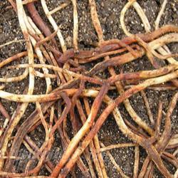 гнилые корни