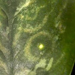 Мозаичность листьев