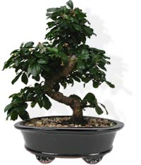 бонсай bonsai