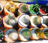 стагнация кактусов