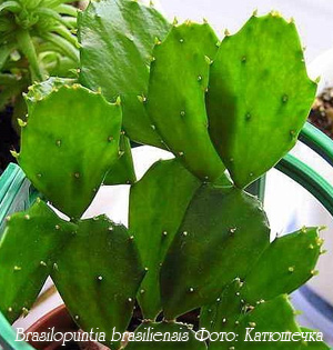 http://iplants.ru/images/cactus-brasilopuntia.jpg