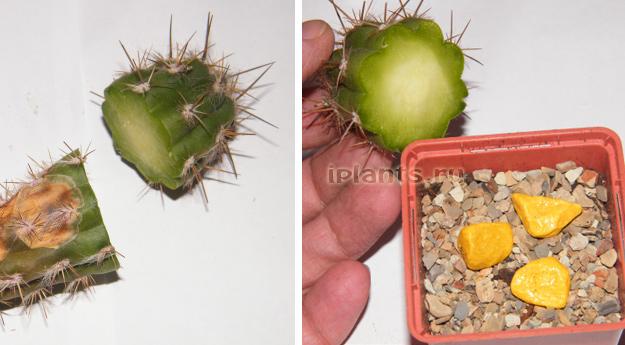 кактусы размножение