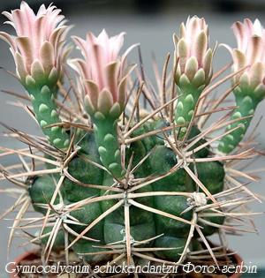 http://iplants.ru/images/cactus-gymnocalycium.jpg