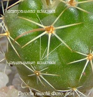 http://iplants.ru/images/cactus-parodia.jpg