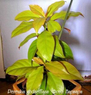 http://iplants.ru/images/cactus-pereskia1.jpg