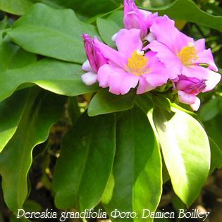 http://iplants.ru/images/cactus-pereskia3.jpg