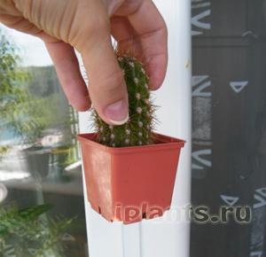 пересадка кактусов