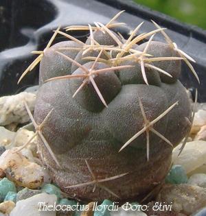 http://iplants.ru/images/cactus-thelocactus.jpg