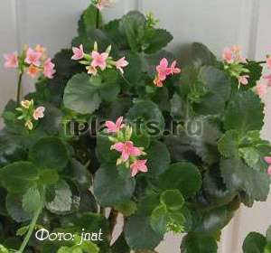 Комнатные цветы каланхоэ