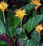 Комнатные растения калатея