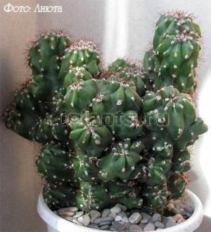 for Cactus tipos y nombres